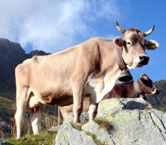 Mucche_montagna