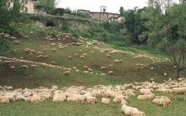 pecore_mura