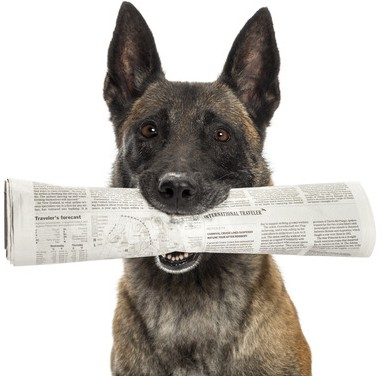 Close-up of a Belgian Shepherd holding newspaper in mouth against white background
