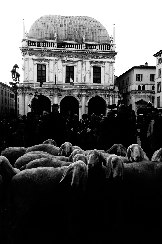 pecore_brescia-10